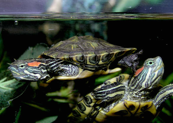 Baby water turtles